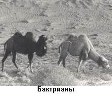 верблюды-бактрианы