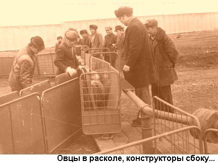 Фото: овцы в расколе