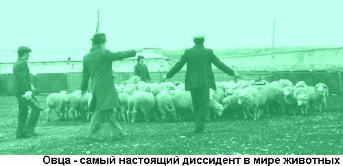 Фото стада овец