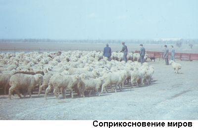 Фото: стадо овeц и люди