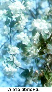 Фото: яблоня цветёт