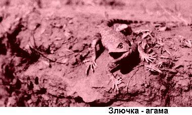 """""""Фото: ящерица агама"""""""